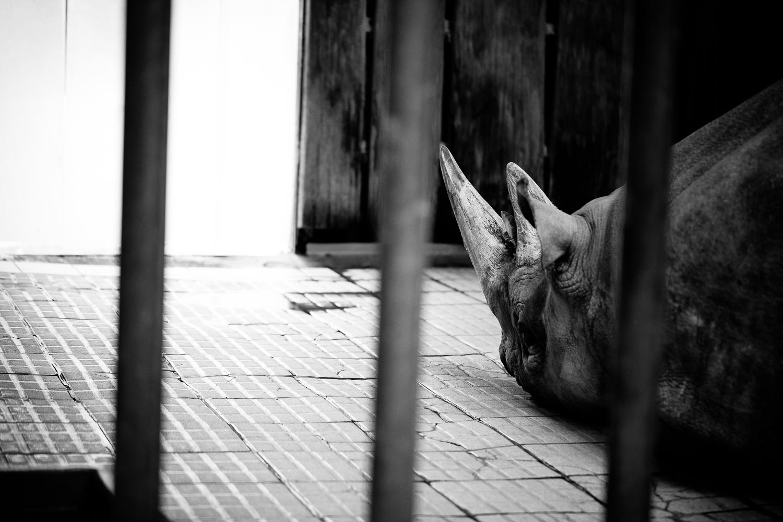 Eingesperrtes Nashorn